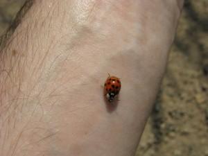 Ladybug on the forearm