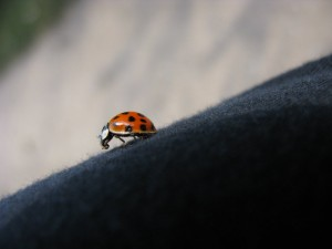 Ladybug on the clothing