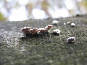 Wee small wood fungi
