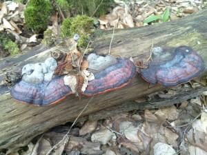 Deadwood serving some fungi as a habitat
