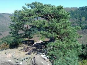 A pine on top of Blumenstein castle