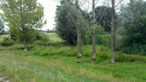 Trees cut by beavers