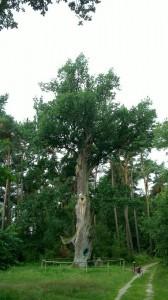 Oak near Löcknitz