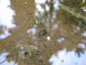 Watersnails and Waterstrider