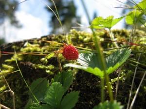 Woodland Strawberry (Fragaria)