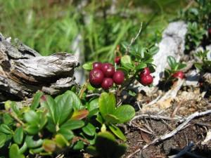 A lingonberry